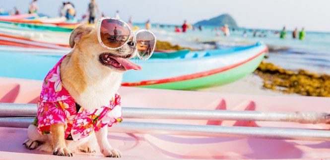 Dog wearing sunglasses and Hawaiian shirt on beach